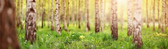 Skog för björkträd i morgon royaltyfria foton
