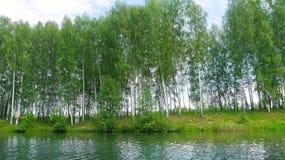 Skog för björkträd på sjös kust royaltyfri foto