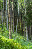 Skog för granträd arkivfoto