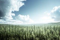 Skog för granträd i solig dag Arkivbilder