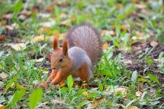 Skog för höst för husdjur för röd päls för ekorre rolig Royaltyfria Bilder