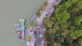 Skog för körsbärsröda blomningar arkivfilmer