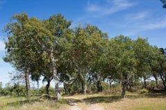 Skog för korkek (Quercussuber) som är botanisk Fotografering för Bildbyråer
