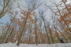 Skog för lövfällande träd i vintern nära regulatorn Knowles State Forest i nordliga Wisconsin - jordning som upp till ser träden  royaltyfri foto