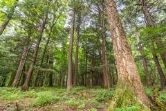 Skog för lövfällande träd med gröna sidor i delstatsparken för ett piggsvinbergvildmark i övrehalvön av Michigan - blick royaltyfria foton