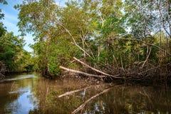 Skog för mangrove för klimat för Caroni flodträsk tät tropisk i Trinidad och Tobago royaltyfri bild