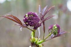 Skog för primula på våren Arkivfoto