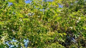 Skog för sidor för gräsplan för lönnträdfilial royaltyfri bild