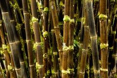 Skog för svart bambu av gamla Hawaii arkivfoto