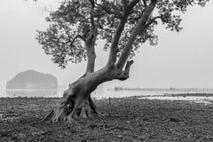 Skog för tappningträdmangrove i morgonen med dimma och mjuk li Arkivbild