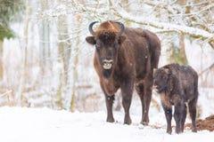 Skog för vinter för stor brun bisonWisentfamilj near med snö Flock av den europeiska Aurochsbisonen, Bison Bonasus Naturlivsmiljö royaltyfri foto