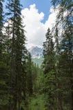 Skog: Grupp av gröna granar i sommar Tid och maximum av italienska Dolomitesfjällängar i bakgrund Royaltyfria Bilder