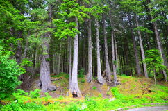 Skog i Alaska, USA Arkivbild