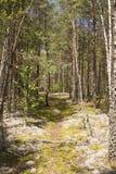 Skog i den Dzukija nationalparken Arkivfoton