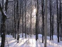 Skog i den insnöade vintern Royaltyfri Fotografi