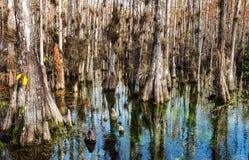 Skog i Everglades Arkivbild
