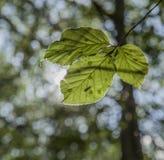 Skog i höst - solbelyst blad på en oskarp bakgrund royaltyfri bild