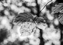 Skog i höst - solbelyst blad på en oskarp bakgrund som är svartvit arkivbild