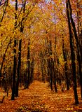 Skog i höst, väg, gula sidor royaltyfri bild