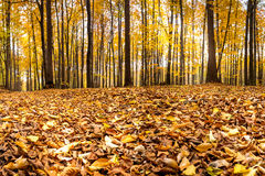 Skog i höstfärger Arkivbild