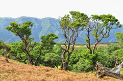 Skog i madeira. Arkivbilder