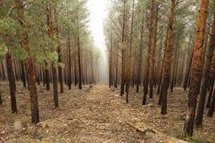 Skog i misten Arkivbild