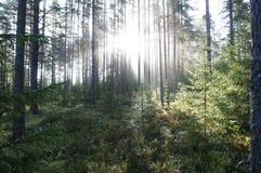 Skog i morgonmisten Arkivbild