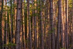 Skog i nordliga Wisconsin arkivbild