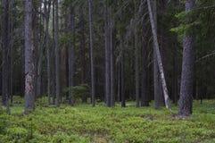 Skog i sommar Augustow - Polen Royaltyfria Bilder