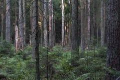 Skog i sommar Augustow - Polen Fotografering för Bildbyråer