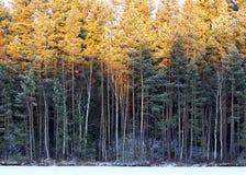 Skog i vinter i solen arkivfoto