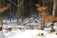Skog i vinter med snö Arkivbilder