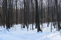 Skog i vinter med snö Royaltyfri Foto