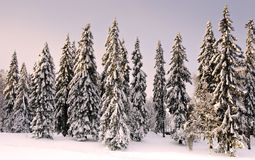 Skog i wintertime med snow på treesna. Arkivfoto