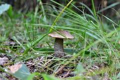 skog isolerad champinjonwhite Fotografering för Bildbyråer