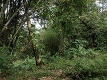 Skog med bambu i södra celebes Royaltyfri Bild