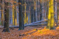 Skog med gul lövverk av björkträd under höst Arkivfoto