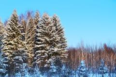 Skog med höga träd i vit snö och blå himmel Arkivfoto