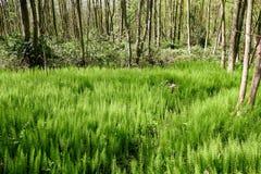 Skog med horsetailen Royaltyfri Fotografi