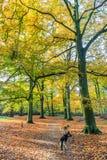 Skog med stora bokträdträd, Fagussylvatica, under höst i härliga varma höstfärger Arkivbild