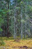 Skog med torra tr?d royaltyfri foto