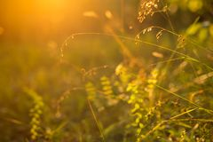 Skog- och ängväxter på solnedgången med härlig orange ljus- och bakgrundsbokeh Senare sommar Fotografering för Bildbyråer