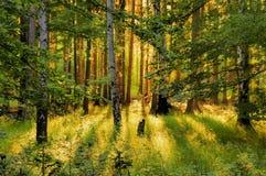 Skog och solstrålar Arkivbild