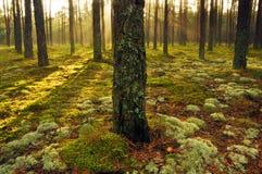 Skog på gryning  Arkivfoton