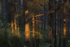 Skog p? solnedg?ngen royaltyfri bild