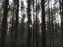 Skog precis för solnedgång Royaltyfria Bilder
