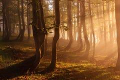 Skog som är upplyst vid solljus i den dimmiga morgonen Arkivfoto
