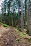 Skog som fotvandrar slingan i en djup skog Arkivbilder