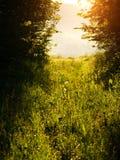 Skog som gör klar den gröna ängen med grönt gräs på solnedgången arkivbilder