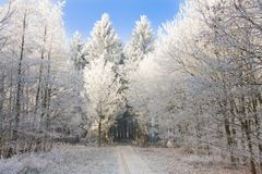 skog som skiner snöig solljustrees Royaltyfri Bild